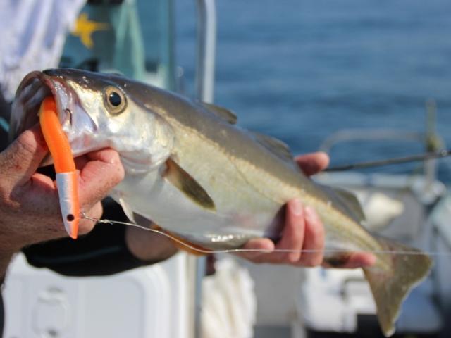 Pierre-Yves Perrodo guide de pêche, guide de peche morbihan, guidagepechemorbihan, guide peche bar, guide peche dorade, guide de peche golfe du morbihan