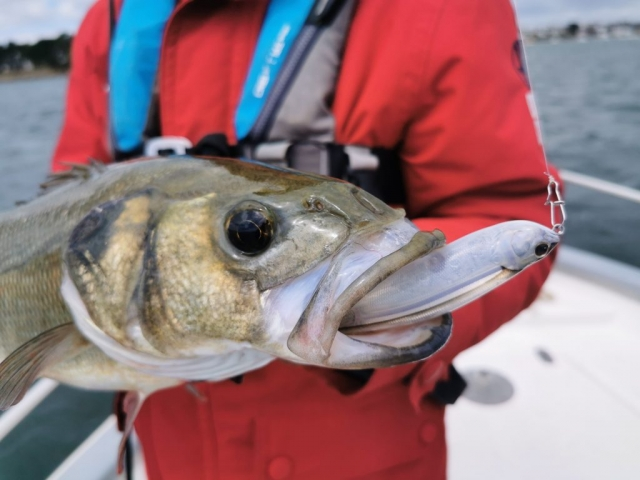 Pierre Yves Perrodo guide de pêche Golfe du morbihan, guide golfe du morbihan, guide peche morbihan, guidagepechemorbihan, pêche aux leurres, pêche à l'appât, ultimatefishing, topwater, leurre de surface, Z Claw